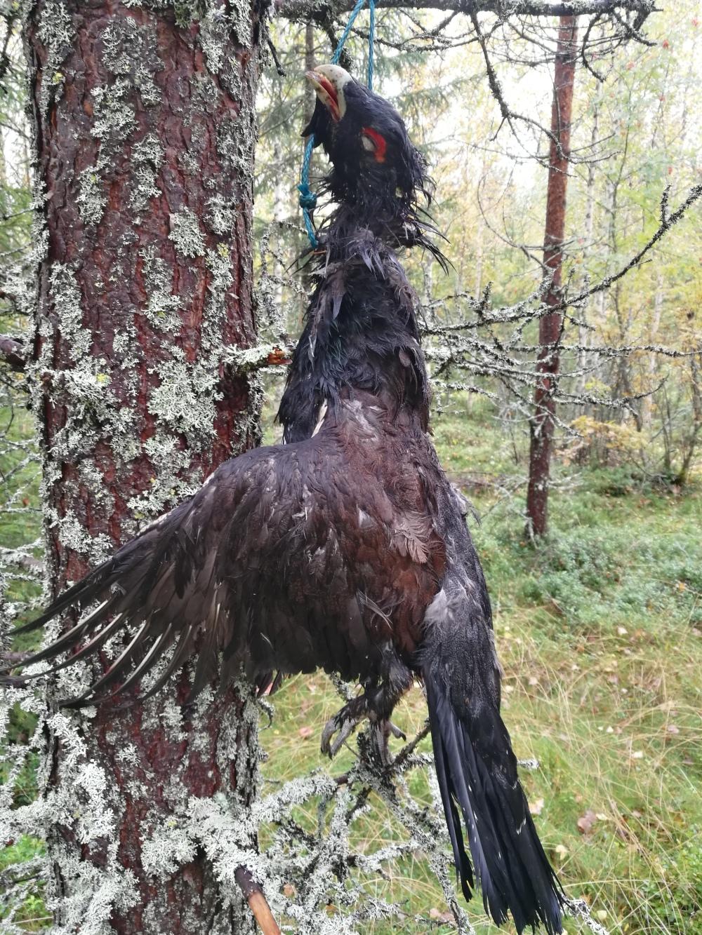 Metsästysblogi, pystykorvan haukusta ammuttu ukkometso.