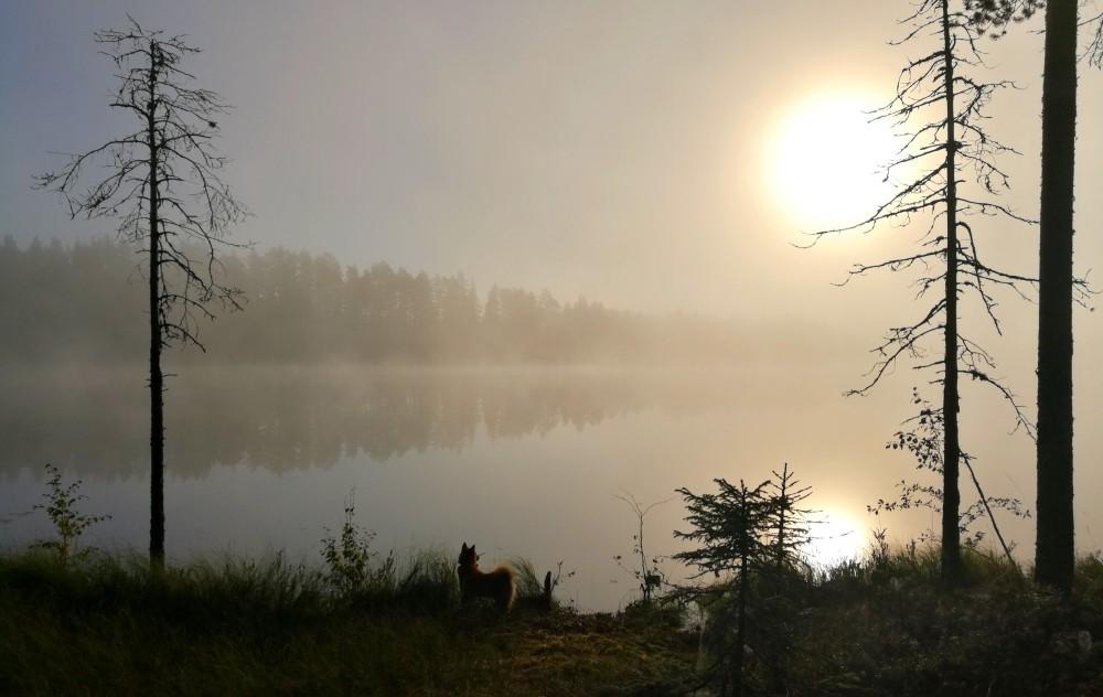 Suomenpystykorva Joiku kanalintukauden avaus upea sumuinen aamu Pohjois-Karjalassa