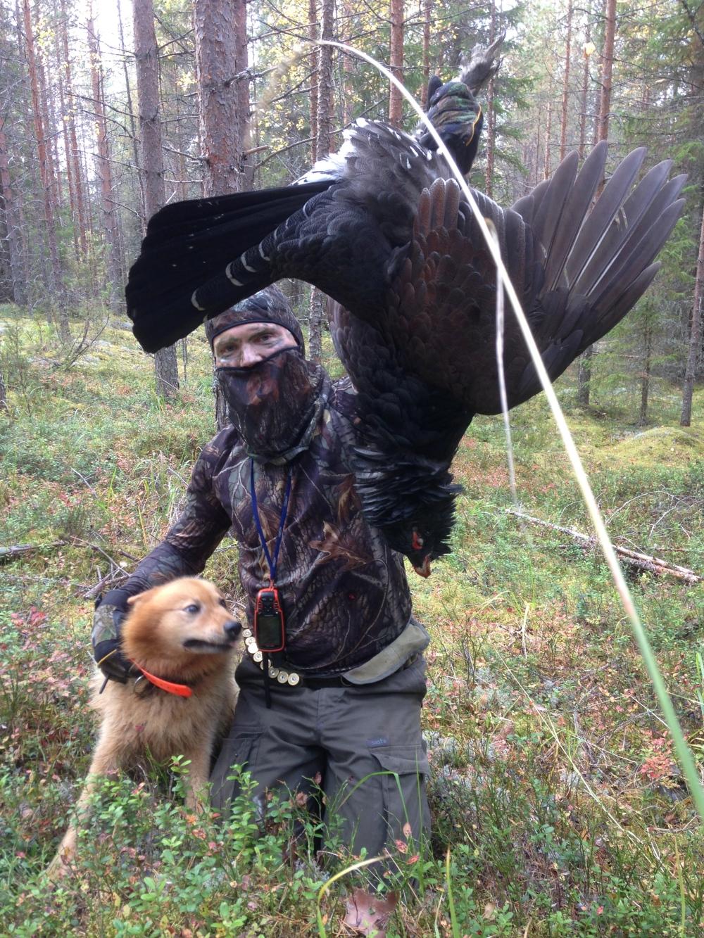 suomenpystykorva metson metsästys pystykorvalla (2).jpg