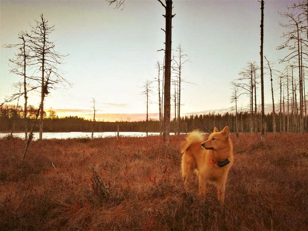 Mikaelin koira suomenpystykorva Joiku Koppelokankaan Joiku Erältä ja Elämästä metsästysblogi blogi erätarinoita metso korpimetso.jpg