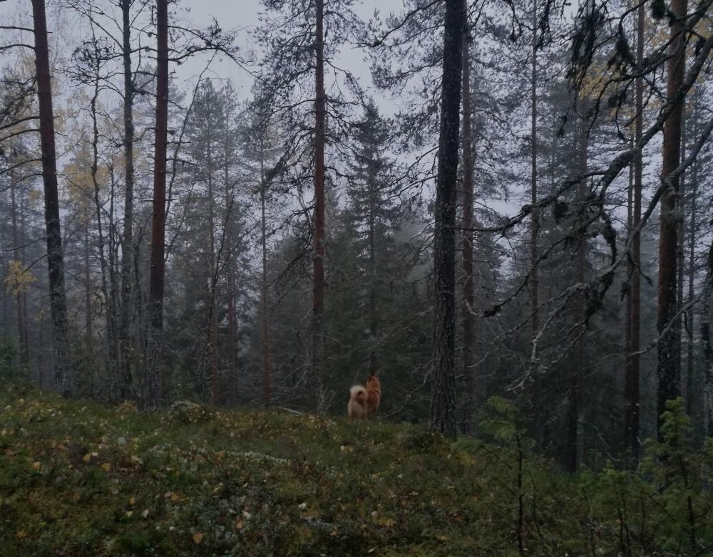 syksy lokakuu pohjois-karjala joiku metsästys suomenpystykorva.jpg