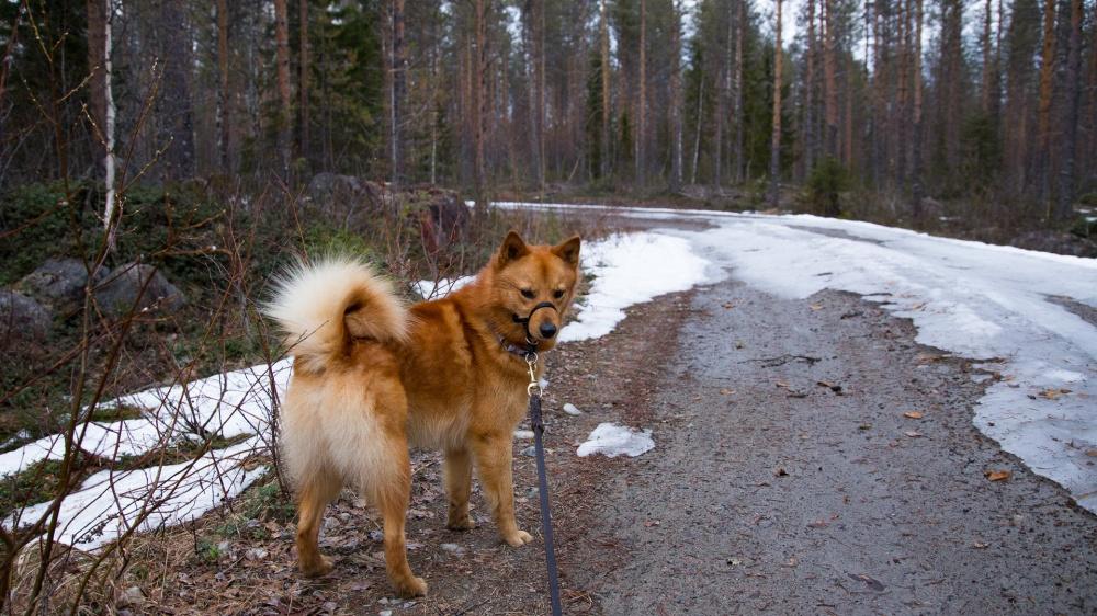 Yli-innokasta nuorta koiraa voi rauhoittaa kuonopannan käyttäminen.