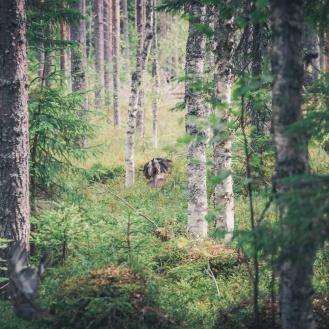 Kuvassa keskellä lentävällä poikasella erottuu jo selvästi koiraslinnun musta höyhenpeite. Lähempänä kameraa vasemmalla näkyy neljäs poikanen.