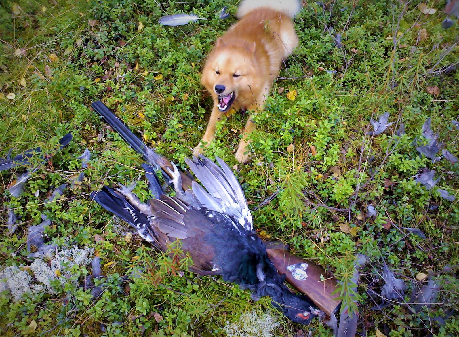 11092008 Rocky erältä ja elämästä ukkometso pystykorvan haukusta metson metsästys metsästyskoira